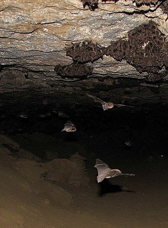 Indiana bat - Indiana bats lose 10-30 days worth of their limited fat reserves during every spontaneous arousal from torpor caused by human disturbance of their hibernaculum. Multiple disturbances during a cold winter can cause Indiana bat mortality.