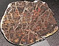 Inzeria intia (stromatolite) (Neoproterozoic, ~800 Ma; Bitter Springs, Australia) 1 (41559714260).jpg