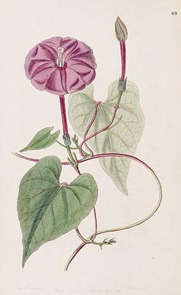 Ipomoea purga (as Exogonium purga) Bot. Reg. 33.49