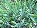 Iris Germanica in early June.JPG