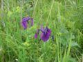 Iris ensata var. spontanea01.jpg