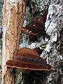Ischnoderma benzoinum (6701849833).jpg