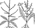 Jacobi Petiveri Opera, historiam naturalem spectantia; OR, Gazophylacium Fleuron T115581-4.png