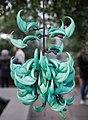 Jade vine (70212).jpg