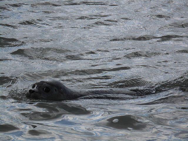 File:Jadebusen, Seehundbänke , Aussetzten von großgezogenen Heulern ...