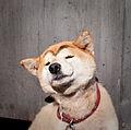 Japan dog (6440791821).jpg