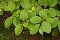 Japanese Stewartia Stewartia pseudocamellia Leaves 3008px.jpg