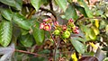 Jatropha gossypiifolia 03.jpg