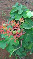 Jatropha podagrica flowers leaves 04.jpg