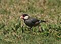 Java Sparrow (12021299994).jpg