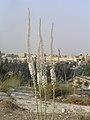 Jerusalem Drimia 785.jpg