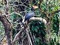 Juvenile Rhinoceros Hornbill (14181079041).jpg