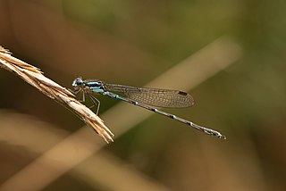 <i>Austrolestes colensonis</i> species of New Zealand damselfly