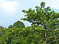Kadam (Neolamarckia cadamba) (Rubiaceae) (8080086524).jpg