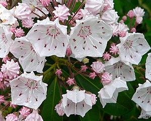 Kalmia latifolia - Kalmia latifolia flowers