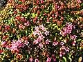 Kalmia procumbens bush upernavik.jpg