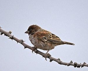 Chestnut sparrow - An immature male in Tanzania
