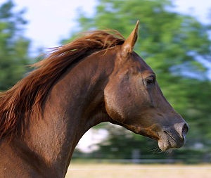 Equine conformation - A dished face on an Arabian.