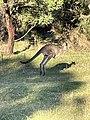 Kangaroo in motion.jpg