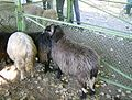 Karakachan Sheep 4.JPG