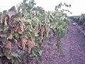 Kendirlik köyü üzüm bağları - panoramio.jpg