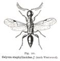 Kieffer - Calyoza staphylinoides male.png