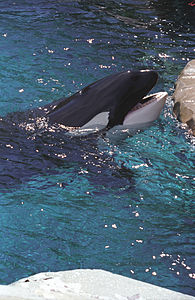 Killer whale(Vancouver)03(js).jpg