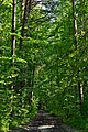 Kivertsi Volynska-Dubososnyna nature monument-trees-2.jpg