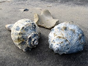 Knobbed whelk - Knobbed whelk shells