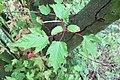 Korina 2014-05-18 Acer tataricum.jpg