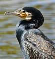 Kormoran (Phalacrocorax carbo) 05,.jpg