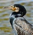 Kormoran (Phalacrocorax carbo) 05,.jpg