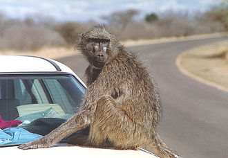 Chacma baboon - Chacma baboons live in proximity to humans and are sometimes killed as vermin.
