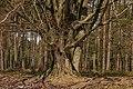 Kroezeboom (grensboom). Beuk (Fagus sylvatica). Locatie, Kroondomein 02.jpg