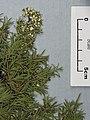 Kunzea linearis K. robusta de Lange and Toelken (Kirk) de Lange and Toelken (AM AK327814).jpg