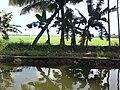 Kuttanadu in Kerala,.jpg