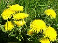 Kwitnące mniszki - panoramio.jpg