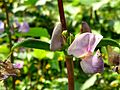 Lablab purpureus plant & flowers 28.jpg