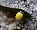 Ladybird just emerged from pupal case (35394618323).jpg