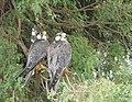 Laggar Falcon pair.jpg