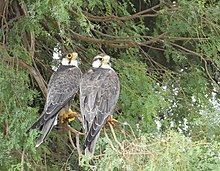 In this pair of laggar falcons, left one is an adult male with darker head and the other one is an adult female. Her head is pale compared to that male. Such variations are not unusual.