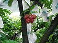 Lainwu (Wax apple) on the tree P00038.JPG