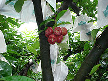 Lainwu (Wax apple) on the tree P00038.JPG