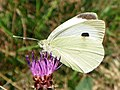 Large White (Pieris brassicae) ♀ (9621178285).jpg