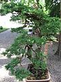 Larix decidua Bonzai 01 by Line1.jpg