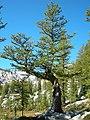 Larix lyallii RuneLake.jpg