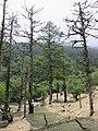 Larix potaninii, Huanglong 1.jpg