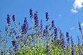 Larkspur Delphinium glaucum on sky.jpg