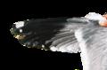 Larus armenicus wing 01.png