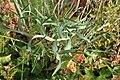 Lathyrus clymenum kz3.jpg